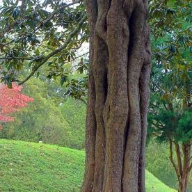 Vicksburg Tree