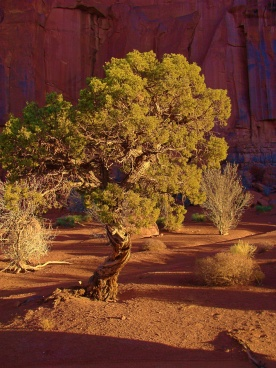 Monument Valley Tree