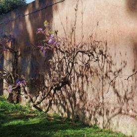 Rome: Cemetery Wisteria