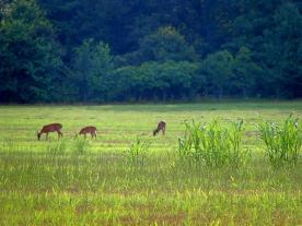 Battlefield Deer