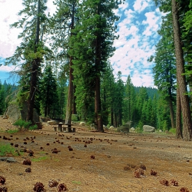 Truckee Park Pinecones