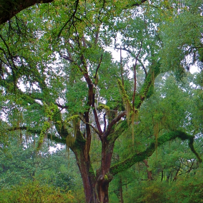 Avery Island Live Oak