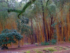 Avery Island Bamboo