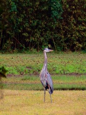 Avery Island Blue Heron