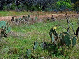 Hill Country Cactus